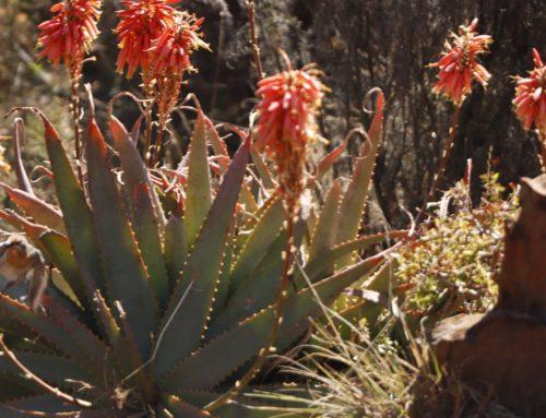 Aloe Arborescence